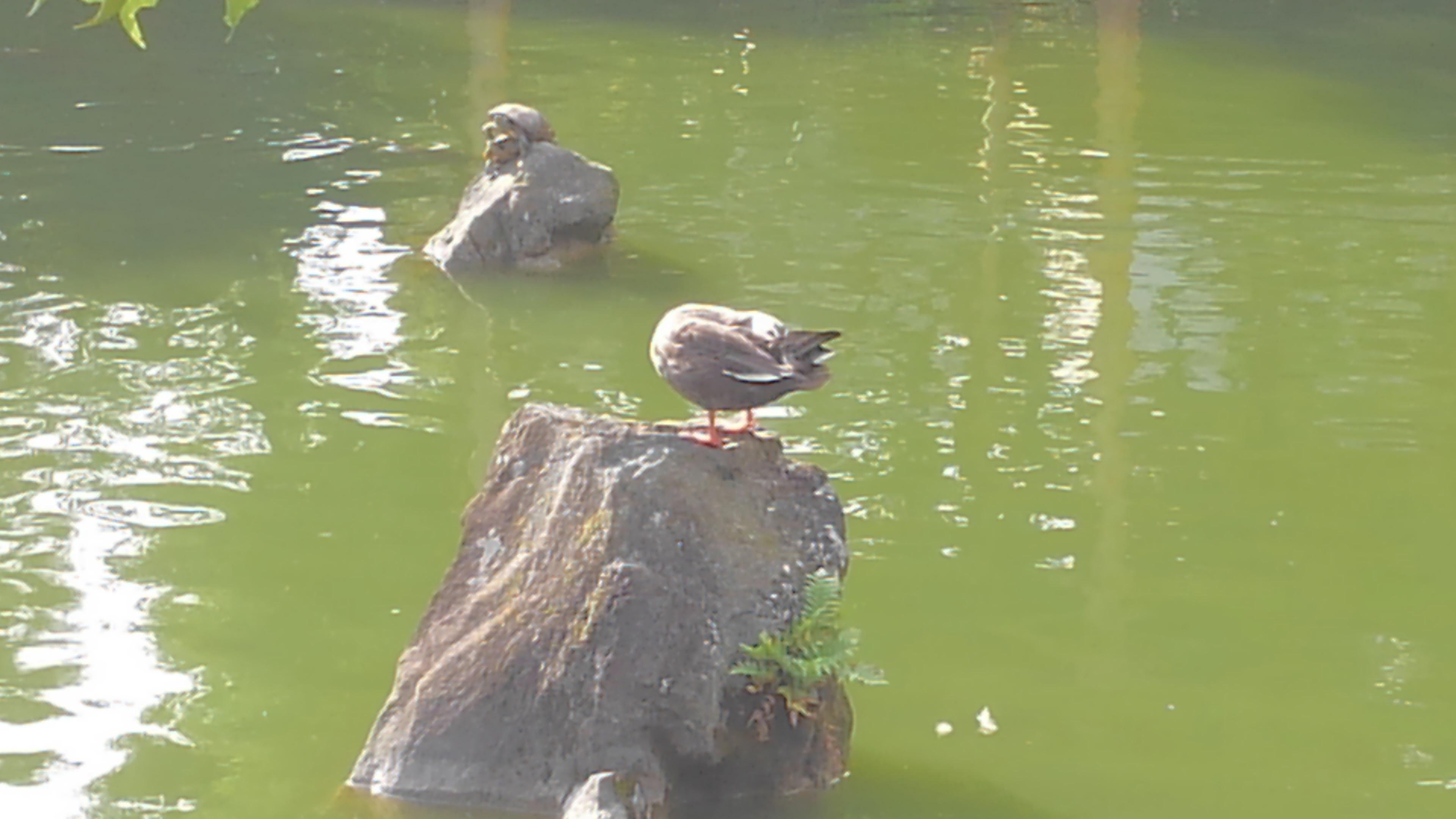 亀戸天神社の動物