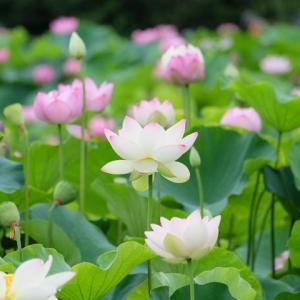 Lotusさんのプロフィール画像